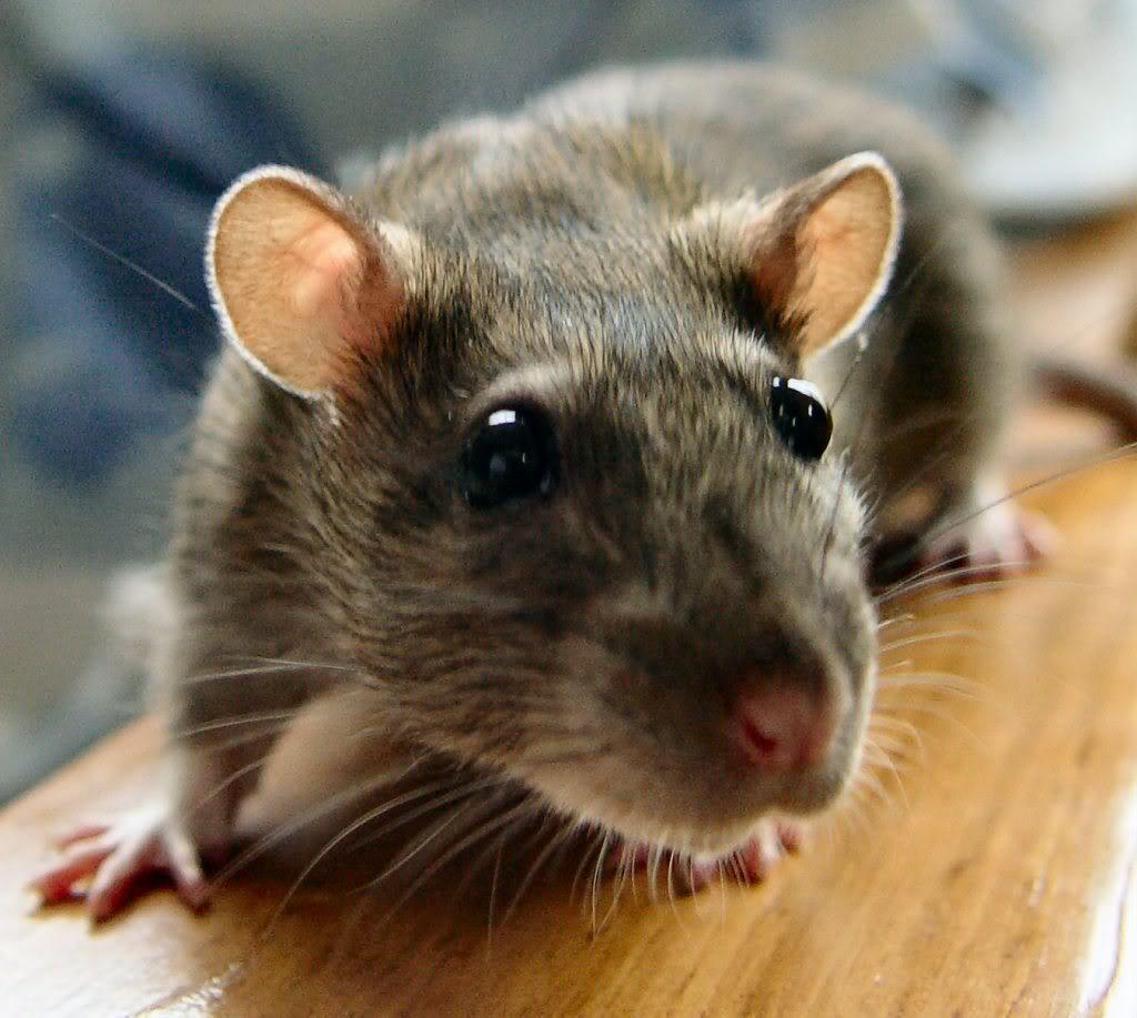 Penyakit Akibat Tikus dan Cara Mencegahnya